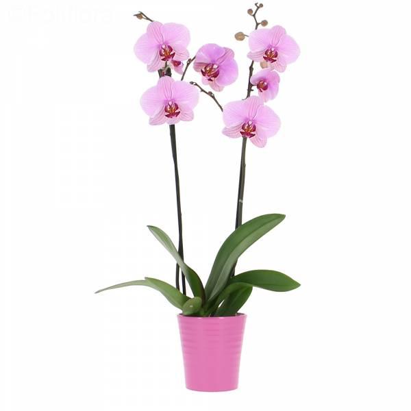 Orhidee la ghiveci - Comanda online Flori in Baia Mare
