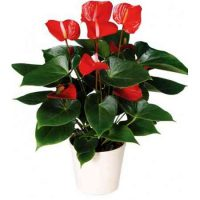big-red-anthurium
